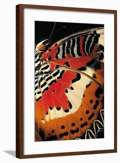 Cethosia Hypsea (Malay Lacewing) - Wings Detail-Paul Starosta-Framed Photographic Print