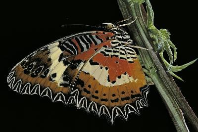 Cethosia Hypsea (Malay Lacewing)-Paul Starosta-Photographic Print