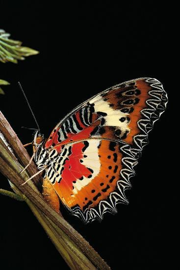 Cethosia Hypsea (Malay Lacewing)-Paul Starosta-Photographic Print