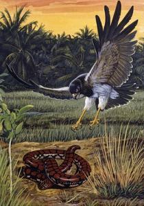Ceylonese Cylinder Snake (Cylindrophis Maculatus), Cylindrophiidae