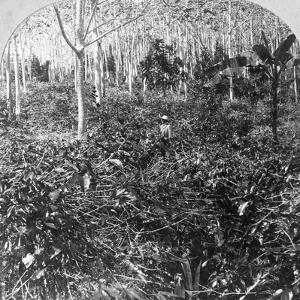 A Coffee Plantation, Jamaica, C1900s by CH Graves
