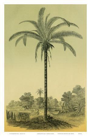 Astrocaryum Chambira Palm Tree, Botanical Illustration, c.1854