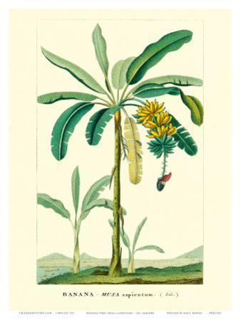 Banana Tree, Botanical Illustration, c.1855 by Ch^ Lemaire