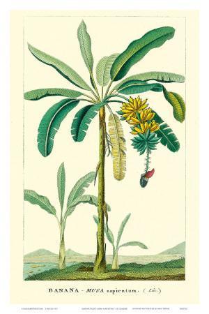 Banana Tree, Botanical Illustration, c.1855