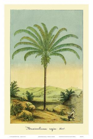 Maximiliana Palm Tree, Botanical Illustration, c.1854