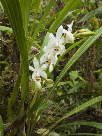 Orchid (Coelogyne Hirtella) Flowering, Mount Murud, Sarawak, Malaysia