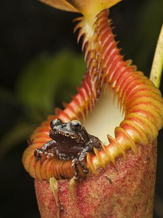 Shrub Frog (Philautus Sp) in Pitcher Plant (Nepenthes Harryana), Kinabalu Nat'l Park, Malaysia