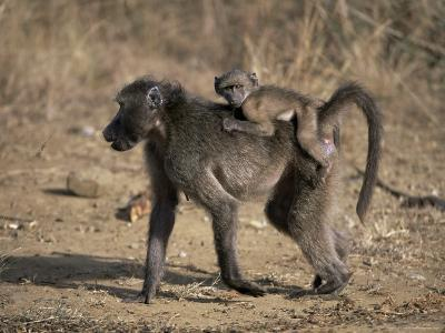 Chacma Baboon Carrying Young, Hluhluwe and Umfolozi Game Reserves, South Africa-Steve & Ann Toon-Photographic Print