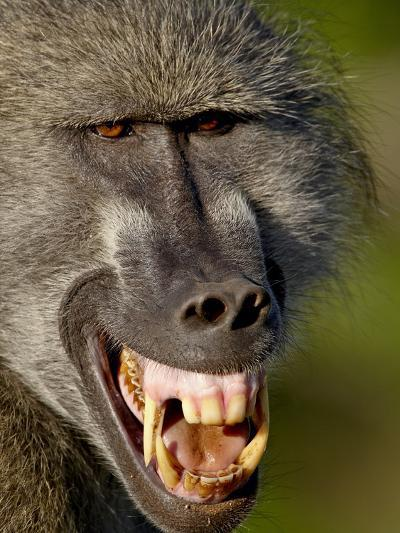 Chacma Baboon (Papio Ursinus) Baring Teeth to Show Aggression, Kruger National Park, South Africa--Photographic Print