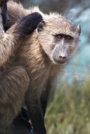 Chacma Baboon (Papio Ursinus), Cape of Good Hope, Table Mountain National Park-Kimberly Walker-Photographic Print