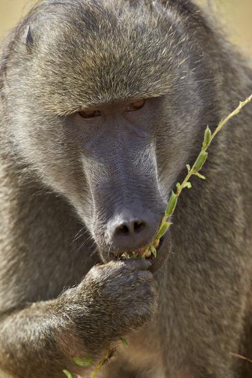 Chacma Baboon (Papio Ursinus) Eating, Kruger National Park, South Africa, Africa-James Hager-Photographic Print