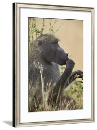 Chacma Baboon (Papio Ursinus), Kruger National Park, South Africa, Africa-James Hager-Framed Photographic Print