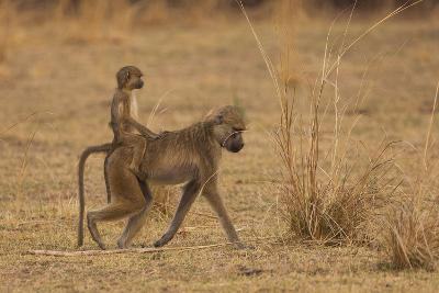 Chacma Baboons, South Luangwa National Park, Zambia-Art Wolfe-Photographic Print