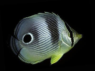 https://imgc.artprintimages.com/img/print/chaetodon-capistratus-foureye-butterflyfish-four-eyed-butterflyfish_u-l-pzqxq40.jpg?p=0