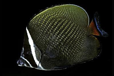 Chaetodon Collare (Redtail Butterflyfish, Collared Butterflyfish)-Paul Starosta-Photographic Print