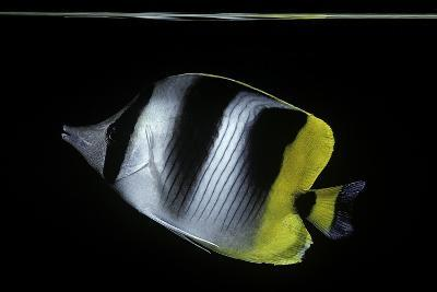 Chaetodon Ulietensis (Pacific Double-Saddle Butterflyfish)-Paul Starosta-Photographic Print