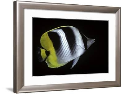 Chaetodon Ulietensis (Pacific Double-Saddle Butterflyfish)-Paul Starosta-Framed Photographic Print