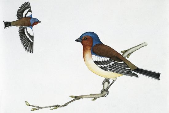 Chaffinch (Fringilla Coelebs), Fringillidae--Giclee Print