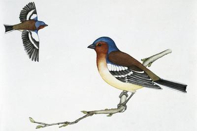 https://imgc.artprintimages.com/img/print/chaffinch-fringilla-coelebs-fringillidae_u-l-pvel3q0.jpg?p=0