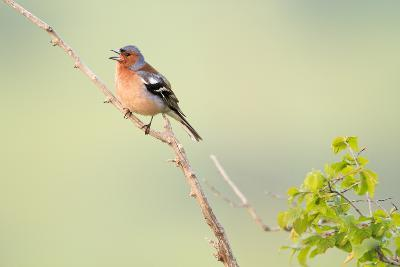 Chaffinch (Fringilla Coelebs) Male Perched On Branch And Singing. Central Balkan NP. Bulgaria-Oscar Dominguez-Photographic Print