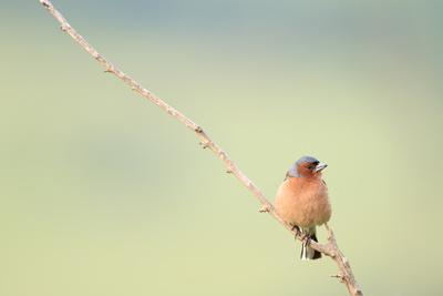 Chaffinch (Fringilla Coelebs) Male Perched On Branch. Central Balkan National Park. Bulgaria-Oscar Dominguez-Photographic Print