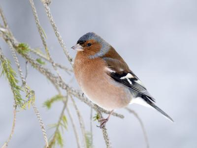 Chaffinch Perched in Pine Tree, Scotland, UK-Andy Sands-Photographic Print