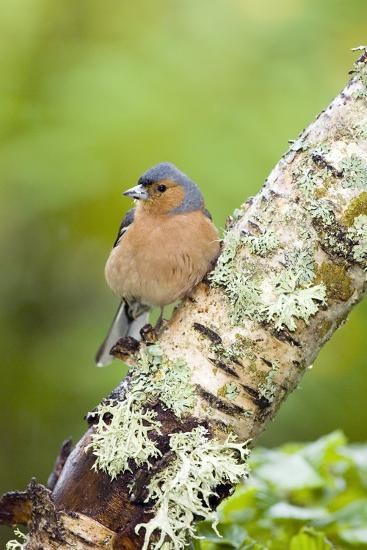 Chaffinch-Duncan Shaw-Photographic Print