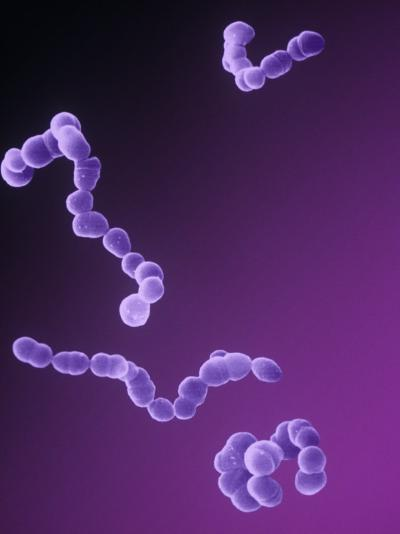 Chains of Streptococcus Bacteria-David Phillips-Photographic Print