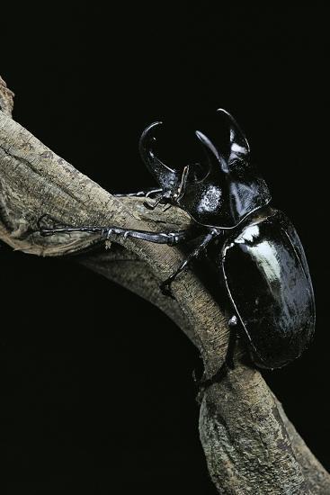 Chalcosoma Atlas (Atlas Beetle)-Paul Starosta-Photographic Print
