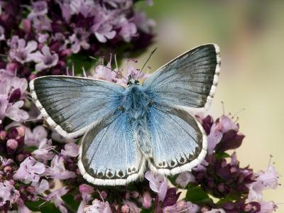 Chalkhill Blue Butterfly Male Feeding on Flowers of Marjoram, UK-Andy Sands-Photographic Print