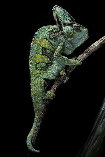 Chamaeleo Calyptratus (Veiled Chameleon)-Paul Starosta-Photographic Print