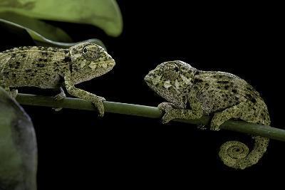 Chamaeleo Johnstoni (Johnston's Chameleon) - Young-Paul Starosta-Photographic Print