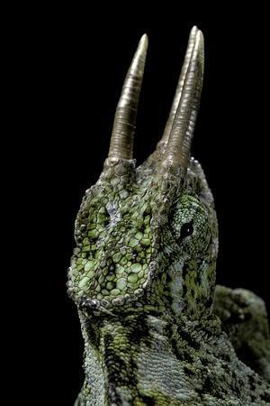 https://imgc.artprintimages.com/img/print/chamaeleo-johnstoni-johnston-s-chameleon_u-l-pzpbop0.jpg?p=0