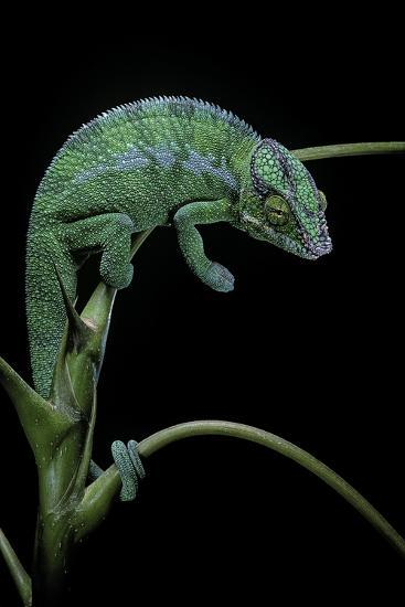 Chamaeleo Pardalis (Panther Chameleon)-Paul Starosta-Photographic Print