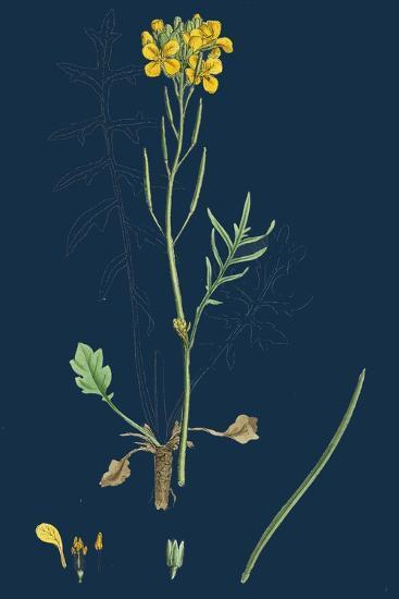 Chamagrostis Minima; Early Sand-Grass--Giclee Print