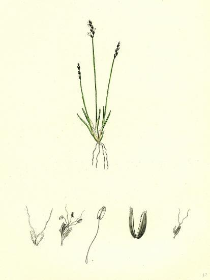Chamagrostis Minima Early Sand-Grass--Giclee Print