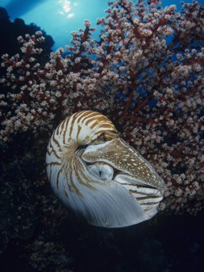 Chambered Nautilus (Nautilus Pompilius) and Soft Coral, Indonesia-David Fleetham-Photographic Print