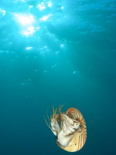 Chambered Nautilus Swimming Near Gnemelis Dropoff, Palau, Micronesia-Stuart Westmorland-Photographic Print