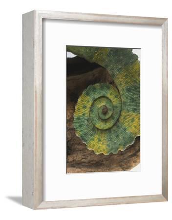 Chameleon Tail-DLILLC-Framed Photographic Print