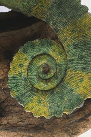 https://imgc.artprintimages.com/img/print/chameleon-tail_u-l-pzrkfk0.jpg?p=0