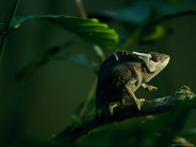 Chameleon Traversing a Thin Branch-Michael Nichols-Photographic Print