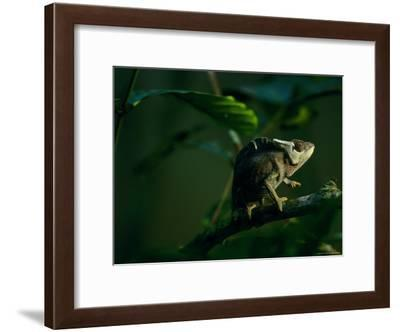 Chameleon Traversing a Thin Branch-Michael Nichols-Framed Photographic Print