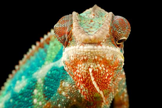 Chameleon-Mark Bridger-Photographic Print
