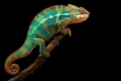 https://imgc.artprintimages.com/img/print/chameleon_u-l-q1a6e2k0.jpg?p=0
