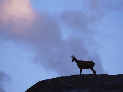 Chamois (Rupicapra Rupicapra) Silhouetted, Gran Paradiso National Park, Italy-Tim Edwards-Photographic Print