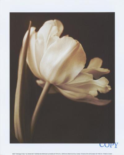 Champagne Tulip I-Charles Britt-Art Print
