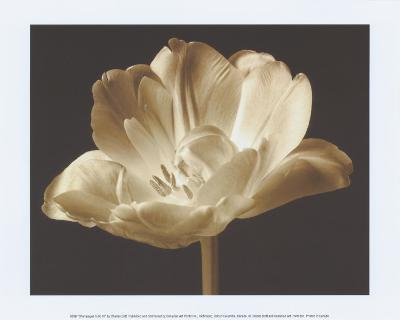 Champagne Tulip III-Charles Britt-Art Print