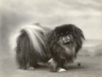 Champion Chien Lung of Wybournes Owned by Mrs Bevington--Photographic Print