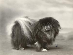Champion Chien Lung of Wybournes Owned by Mrs Bevington