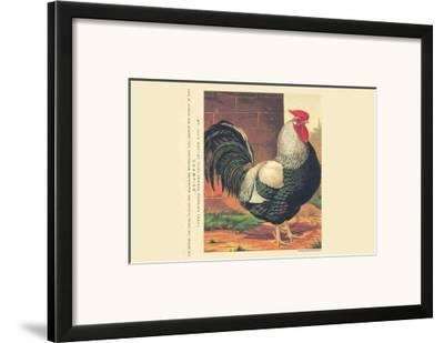 Champion Rose Combed Dorking Cock--Framed Art Print